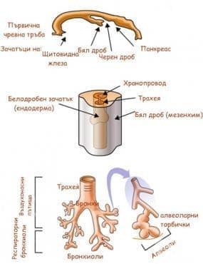 Ембриология на бронхи и бели дробове - изображение