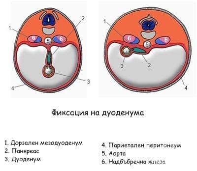 Ембриология на дуоденума - изображение