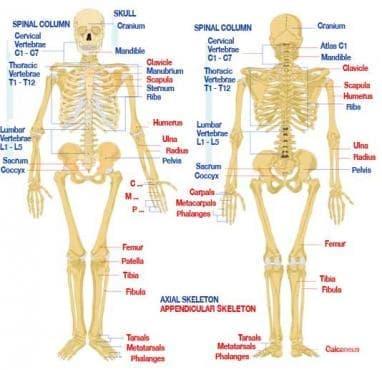 Кости (Ossis) - изображение