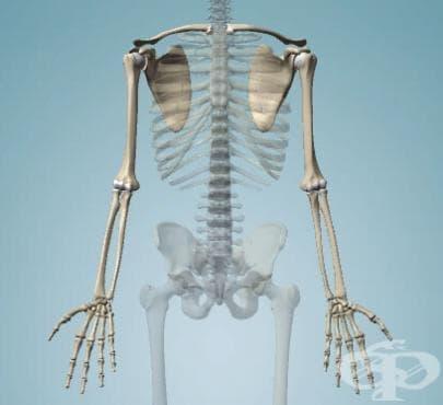 Кости на горния крайник (ossa membri superioris) - изображение