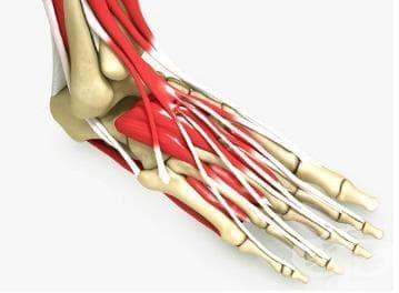 Мускули на ходилото (musculi pedis) - изображение