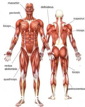 Мускули (Musculi) - изображение