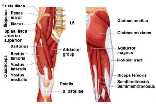 Мускули на бедрото (musculi femoris) - изображение