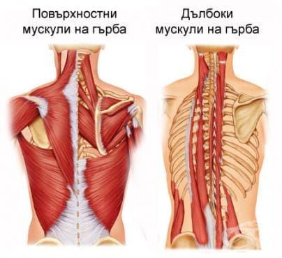 Мускули на гърба (musculi dorsi) - изображение