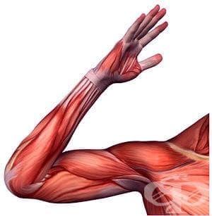 Мускули на горния крайник (musculi membri superioris) - изображение