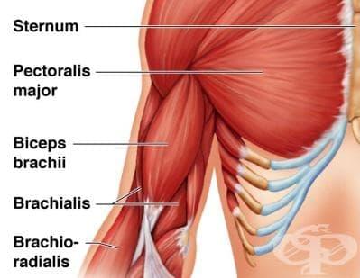 Мускули на мишницата (musculi brachii) - изображение