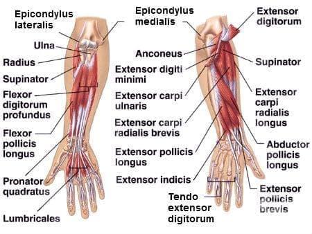 Мускули на предмишницата (musculi antebrachii) - изображение