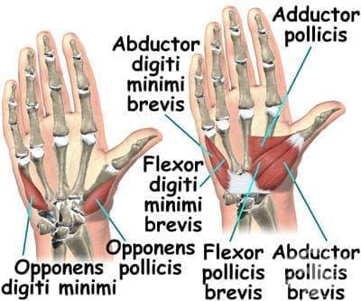 Мускули на ръката (musculi manus) - изображение