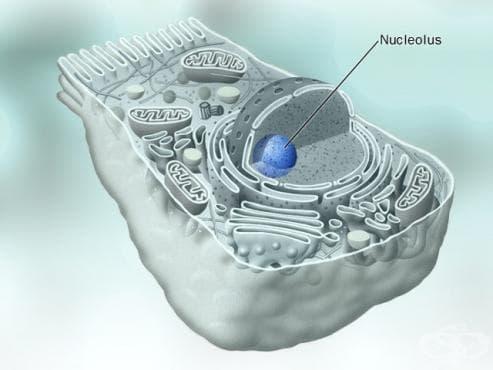 Ядърце (Nucleolus) - изображение