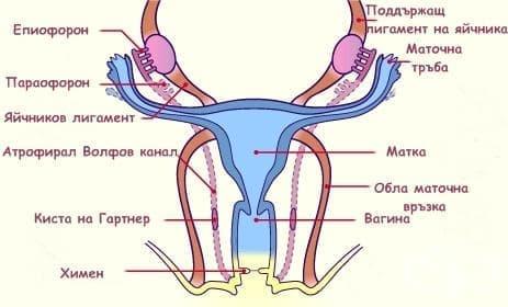 Развитие на женските гонади и вътрешните женски полови органи - изображение