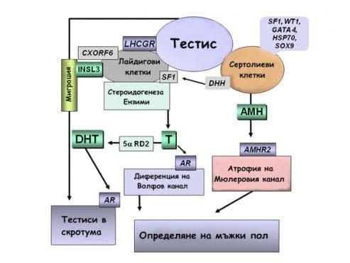 Развитие на мъжките гонади и вътрешните мъжки полови органи - изображение
