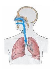 Бял дроб (pulmo) - изображение