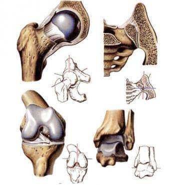 Стави на долния крайник (articulationes membri inferioris) - изображение