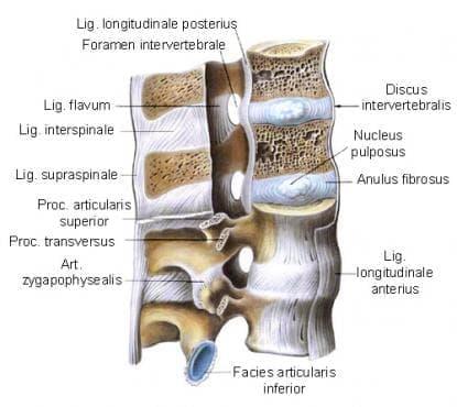 Свързвания на гръбначния стълб (juncturae columnae vertebralis) - изображение