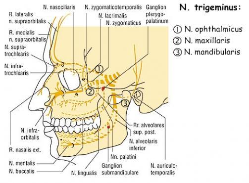 Троичен нерв (nervus trigeminus) - изображение