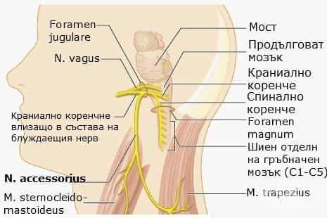 Акцесорен нерв (nervus accessorius) - изображение