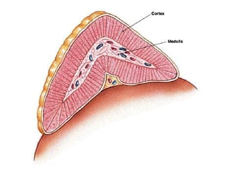 Надбъбречна жлеза (glandula suprarenalis) - изображение
