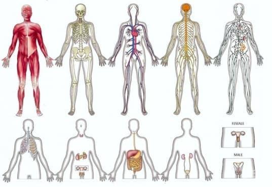 Органи и системи - изображение
