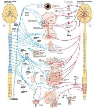 Автономна нервна система (Systema nervosum autonomicum) - изображение