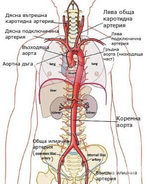 Аорта (aorta) - изображение