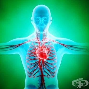 Артериален отдел на сърдечно-съдовата система (Pars arterialis systema cardiovasculare) - изображение