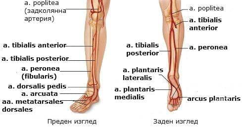Артерии на подбедрицата и ходилото - изображение