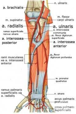 Артерии на предмишницата и ръката (arteriae antebrachii et manus) - изображение