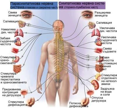 Автономни нерви - изображение