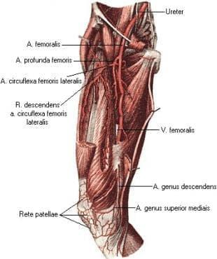 Бедрена артерия (arteria femoralis) - изображение