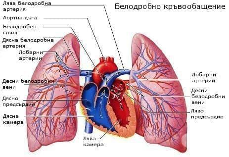 Съдове на малкия кръг на кръвообращението (small circle vessels of blood circulation) - изображение