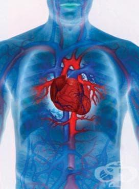 Устройство на сърдечно-съдовата система - изображение