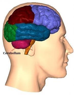 Хистологично устройство на малкия мозък - изображение