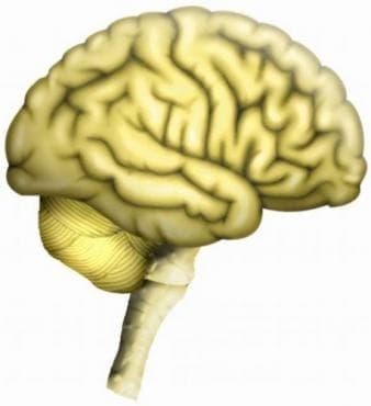 Хистологично устройство на крайния мозък - изображение