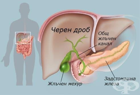 Черен дроб (hepar) - изображение