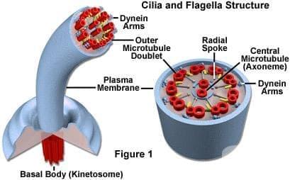 Специализирани структури на клетъчната мембрана - изображение