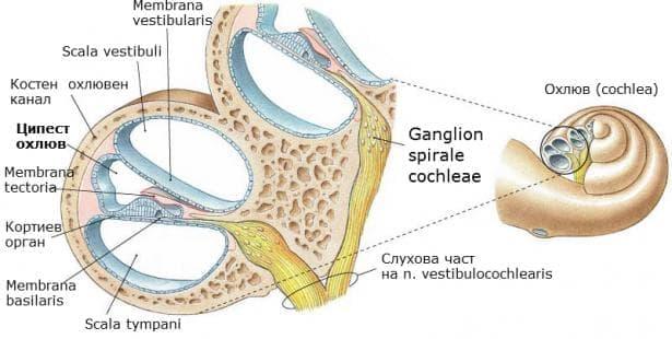 Ципест охлюв (ductus cochlearis) - изображение