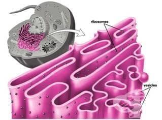 Покрити везикули - изображение