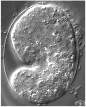 Производни на зародишевите листове - изображение
