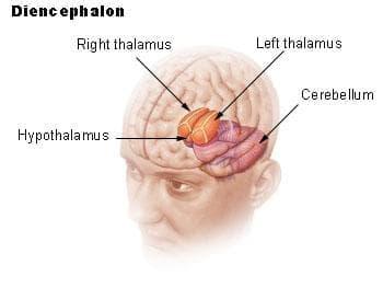 Междинен мозък (Diencephalon) - изображение