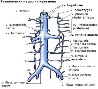 Долна куха вена (vena cava inferior) - изображение
