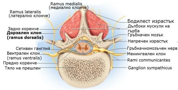 Дорзални клонове на гръбначномозъчните нерви (rami dorsales nervi spinales) - изображение