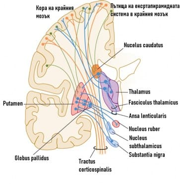 Екстрапирамидна моторна система - изображение
