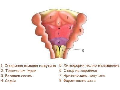 Ембриология на езика - изображение