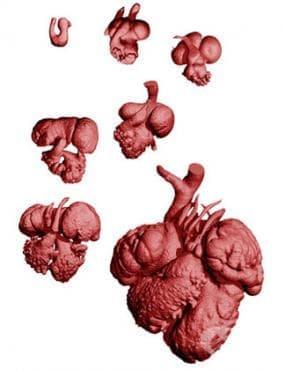 Ембрионално развитие на сърцето - изображение