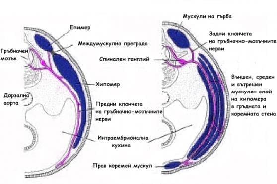 Ембрионално развитие на мускулите - изображение