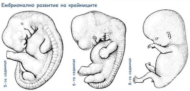 Ембрионално развитие на крайниците - изображение