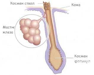 Ембрионално развитие на мастните жлези - изображение