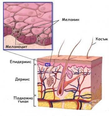 Ембрионално развитие на кожата - изображение