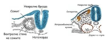 Ембрионално развитие на костите - изображение