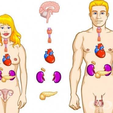 Устройство на ендокринната система - изображение